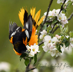 Baltimore Oriole and Apple Blossom