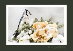 Blue Jay Holiday card