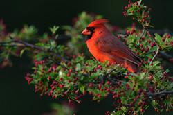Cardinal and Buds