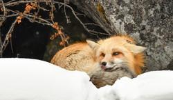 Fox 7382