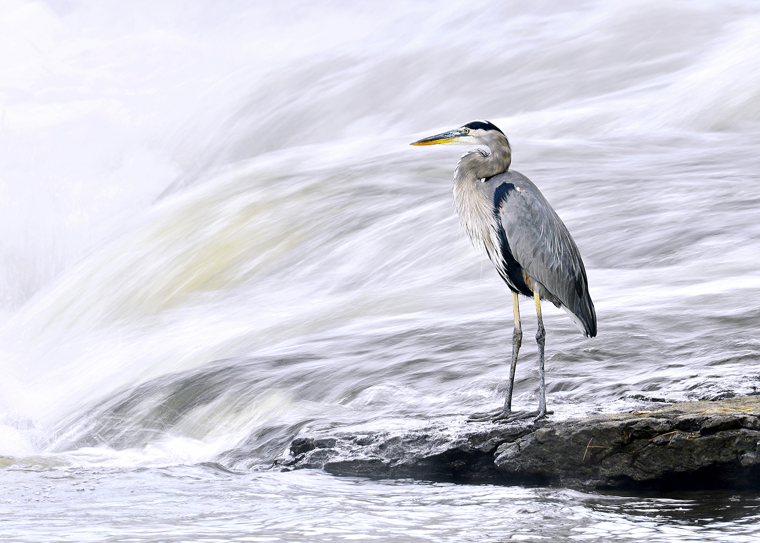 On The Rocks - Great Blue Heron