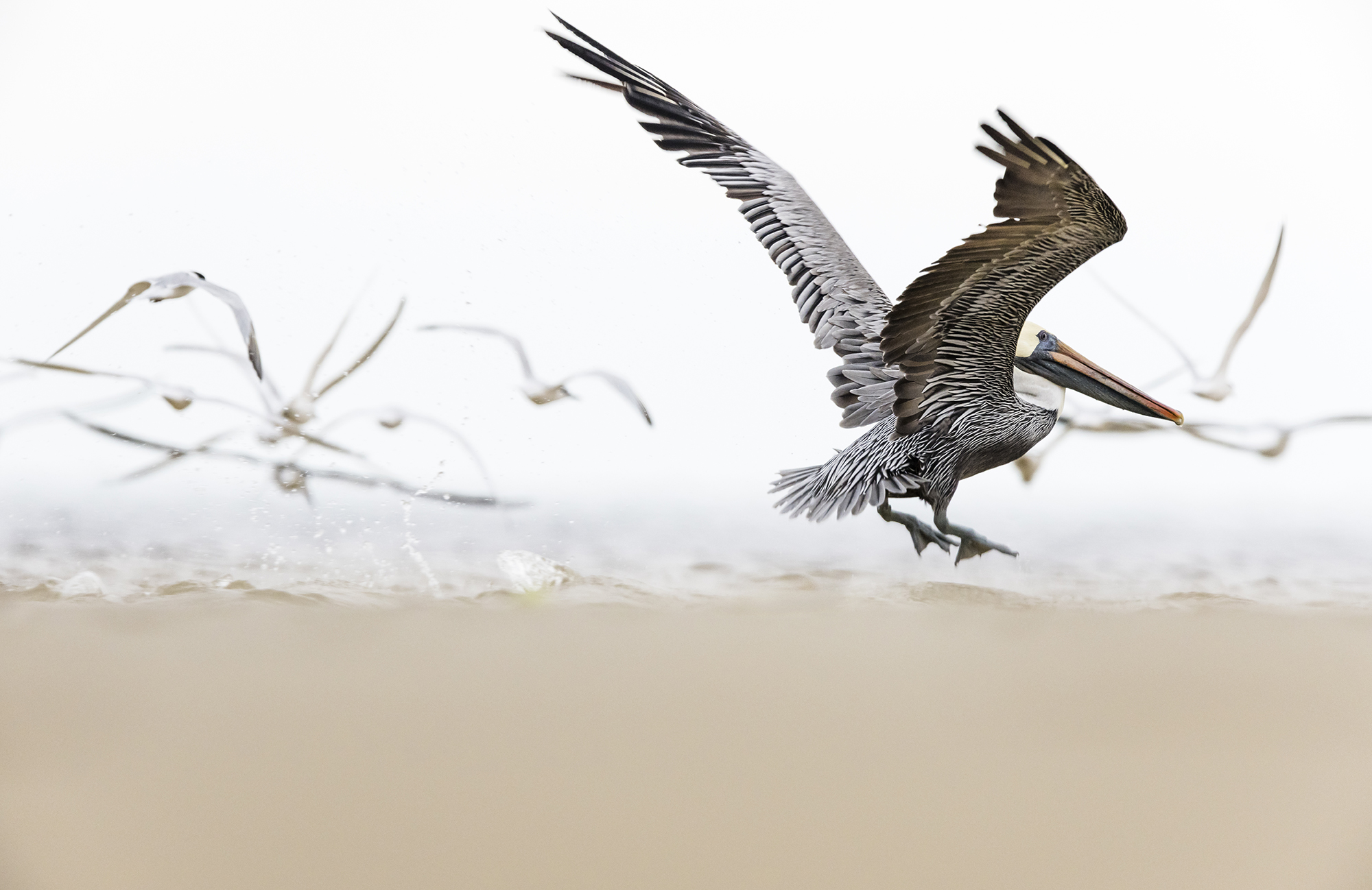 PamelaKaraz_pelican1_birds