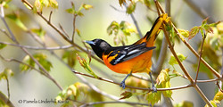 Oriole in Spring