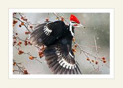 Pileated Woodpecker 5x7