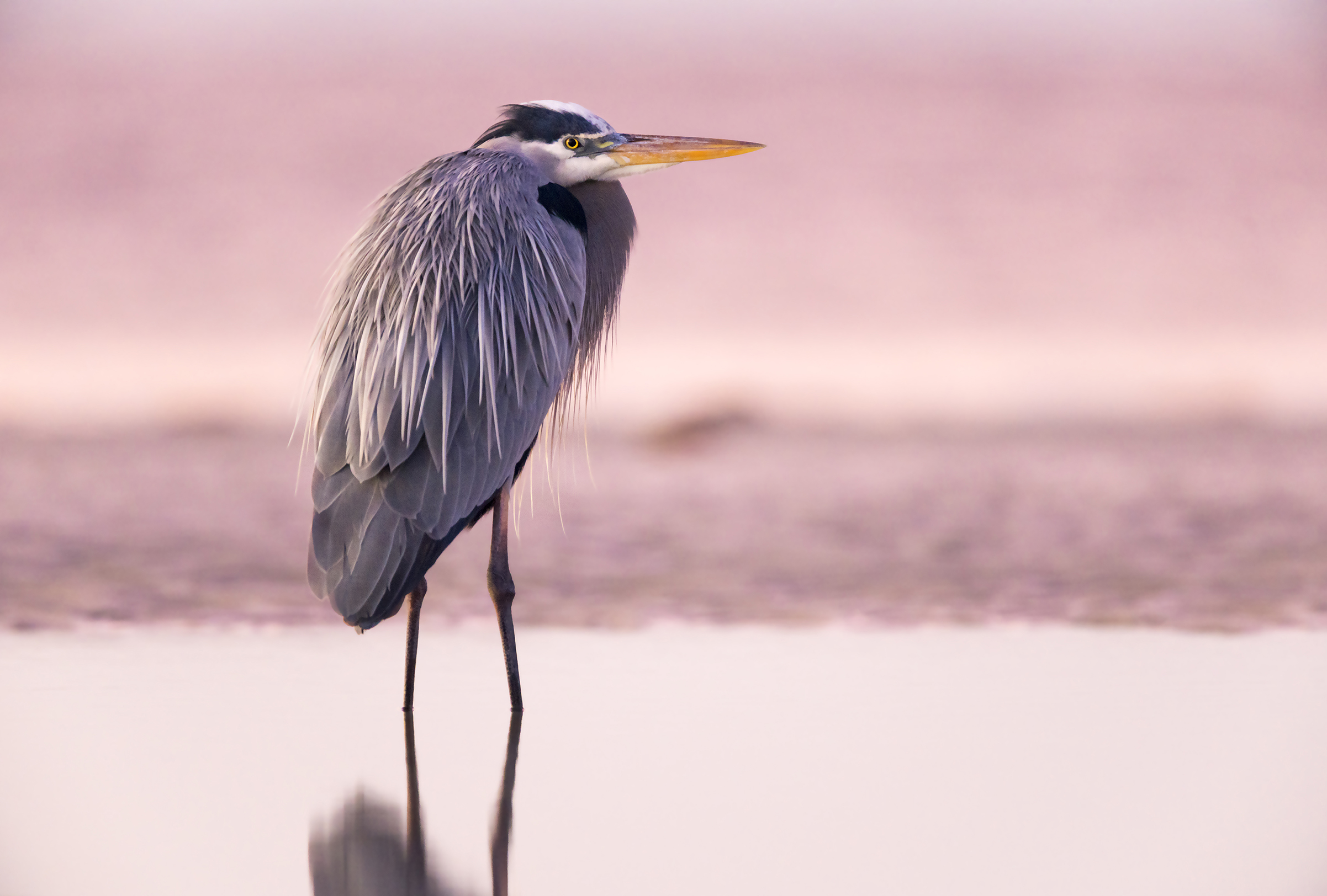 Sunrise: Great Blue Heron