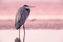 Sunrise: Great Blue Heron