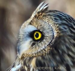 Short Eared Owl Portrait