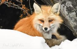 Red Fox 7225