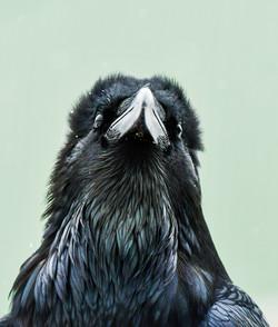 Raven 5927