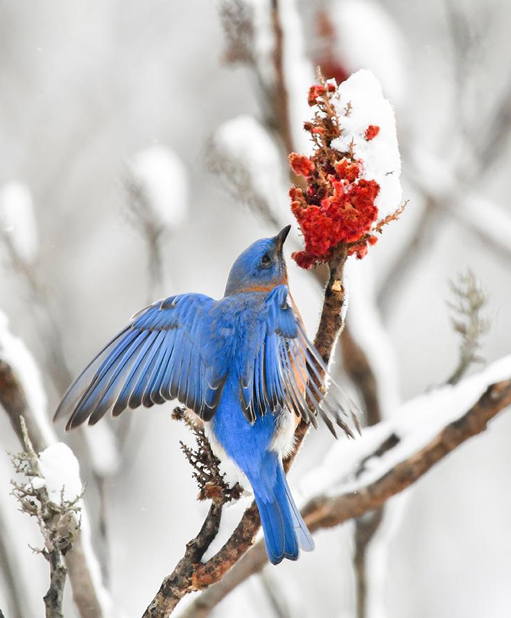 BlueBird and Sumac II