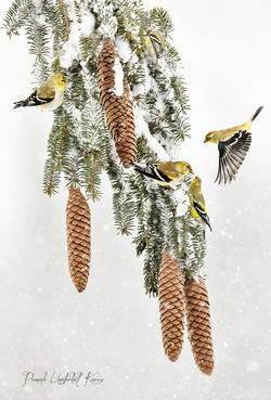 Goldfinch and Pine Cones