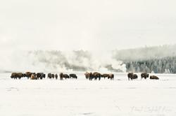 Bison 5695