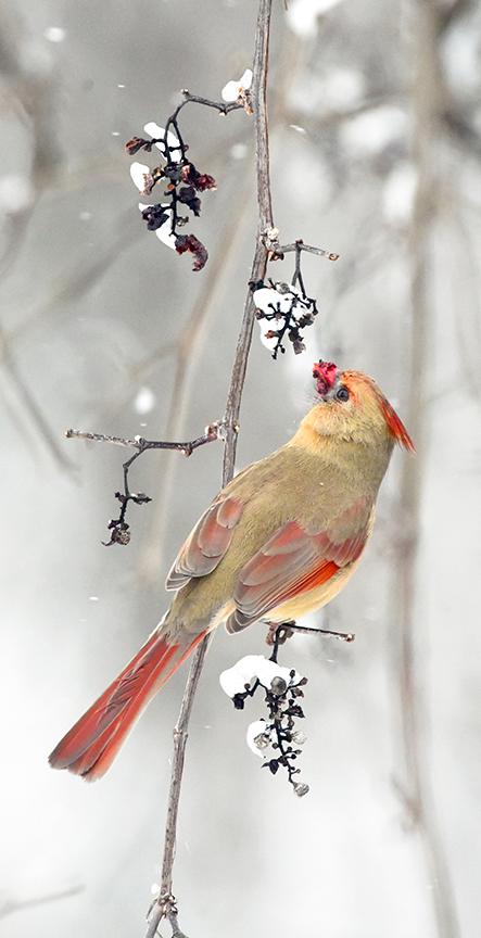 Female Cardinal and Vine