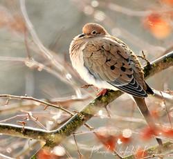 Sunning Mourning Dove