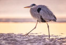 Sunrise II: Great Blue Heron