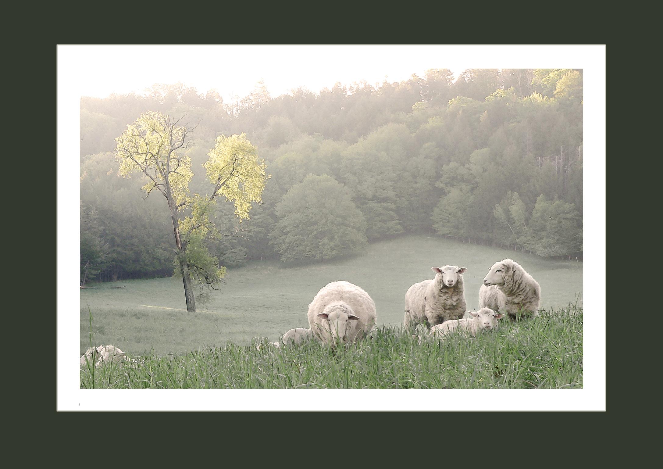 Sheep along Partridge Hill