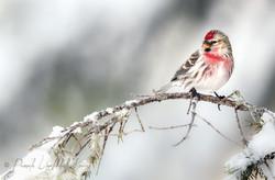 Winter visitor - Redpoll