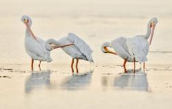 PamelaKaraz_whitepelican1_birds