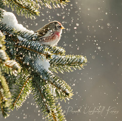 Redpoll and Backlit Snow