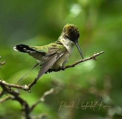 Hummingbird Looking Down