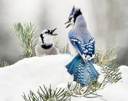 Chatting Blue Jays