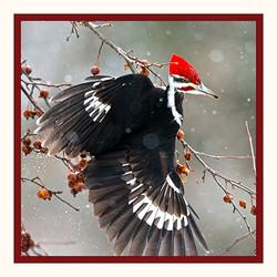 Pileated Woodpecker 5x5
