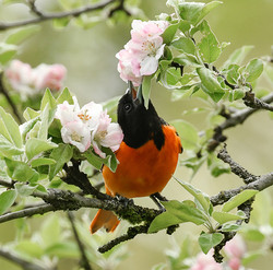 Baltimore Oriole and Apple Blosoms