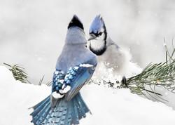 The Standoff - Blue Jays