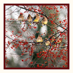 Waxwings and Berries 5x5