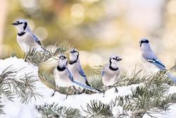 On Alert - Blue Jays