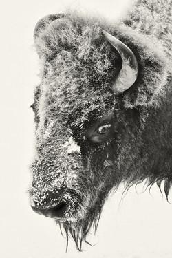 Bison B&W 5666