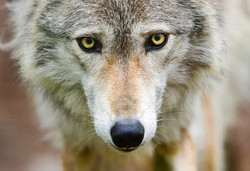 The Look - G.P Wolf (Captive)