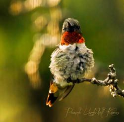 Hummingbird Male Fluffed Up