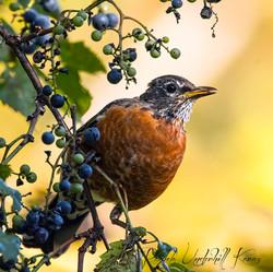 Fall Robin