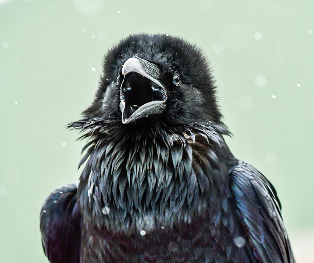 Raven 5917