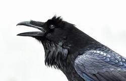 Raven 5964
