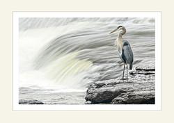 Misty Morning Heron 5x7