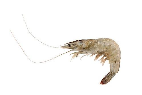 Shrimp  5 lbs (18-20 Ct. / Fresh / Head-On)