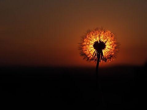 Pissenlit coucher de soleil 2.jpg