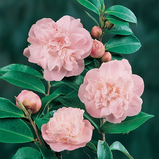 Camellia Pale Pink Double Sweet Emily Kate