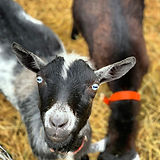 Old Blue Eyes... #goatsofinstagram.jpg