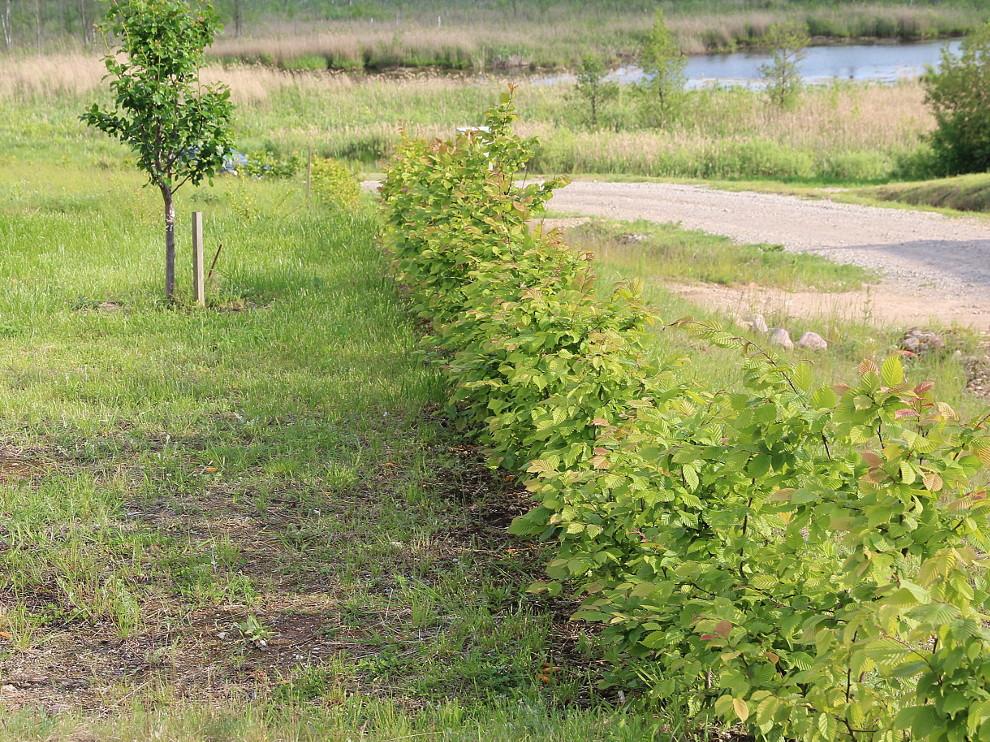 Hornbeam hedge in the garden