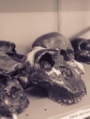 Crânios do acervo