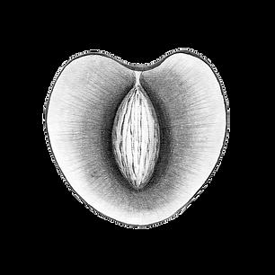 Illustration du site : croquis au crayon gris d'une cerise coupée en deux.