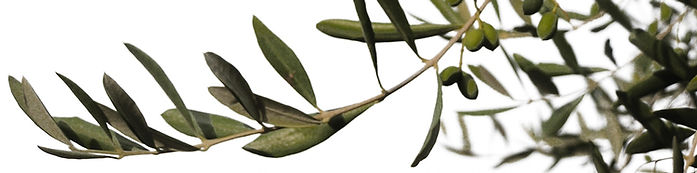 olive-tree-1316484.jpg