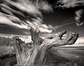 Driftwood Stump, Vancouver Island