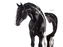 Webinar Aufzeichnung - Pferdefotografie mit weißem Hintergrund