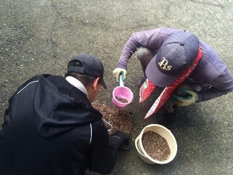 大根の種植え作業
