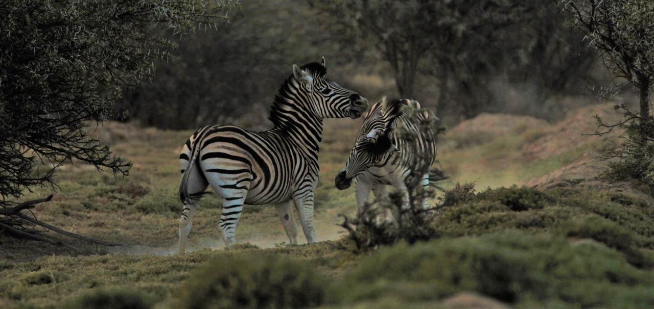 Fighting-zebra