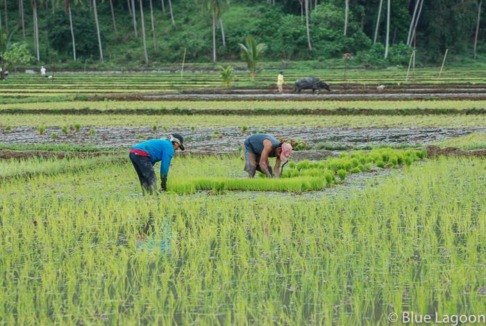 plantation-riz-0248